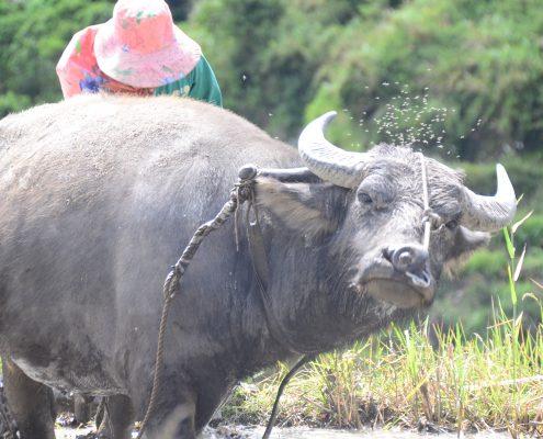 Rundreisen durch Nordluzon: Täglich grüsst das Carabao